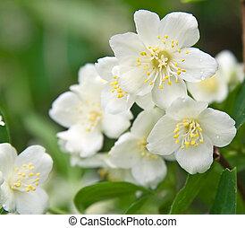 Macro shot of jasmine flower with dew drops. Selective focus. Shallow depth of field
