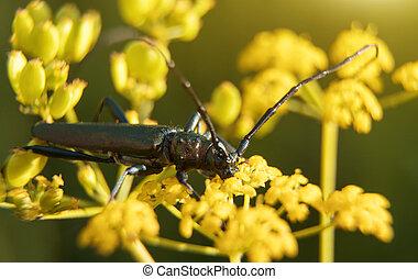 Macro shot of Musk beetle. Aromia moschata.