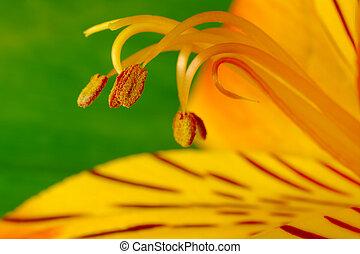 Macro Shot of Pollen and Petal of Inca Lily Flower