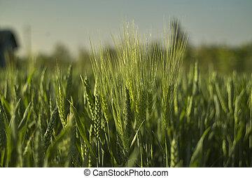 Macro shot of some ears of wheat