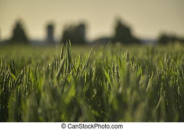 Macro shot of some spikes of barley