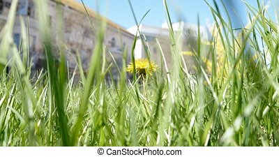 Macro shot of Taraxacum campylodes, yellow flower of young dandellion in lush grass and street buildings