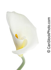 macro shot of white calla lily