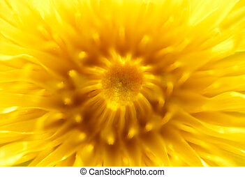 Macro shot of yellow dandelion 1