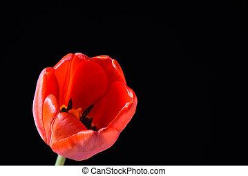 Macro shot. Red tulip bud on a black background.
