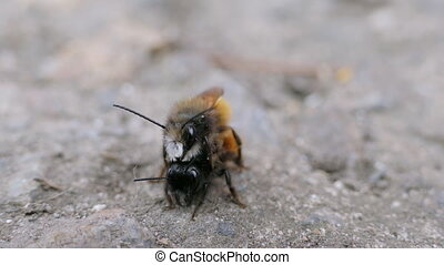 Insect Copulation Pair - Macro Shot Wild Bees Osmia...