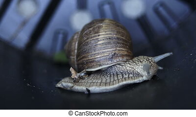 Macro Side View of Garden Snail - Side view macro close up...