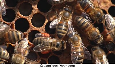 Macro slow motion video of working bees on a honeycomb. Beekeeping and honey production image.