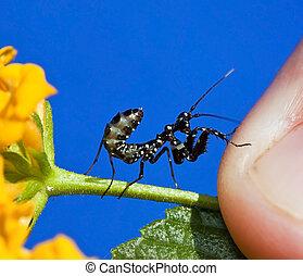 Macro Small black praying mantis on yellow flower insect...