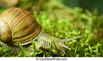 Macro Snail Forest. The snail crawls along the forest moss...
