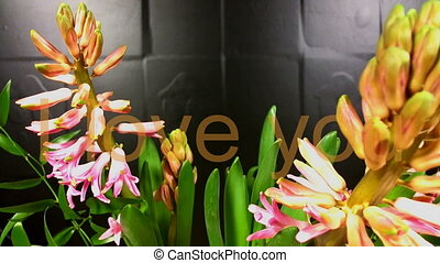 macro time lapse video of a pink hyacinth flower (Hyacinthus orientalis) with write