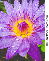 Macro toned image of water droplets on the water lilly flower petals