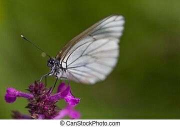 macro, van, black-veined, witte , vlinder, (aporia, crataegi)