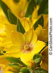 macro, vertical, fleurs, lysimachia, jaune, punctata