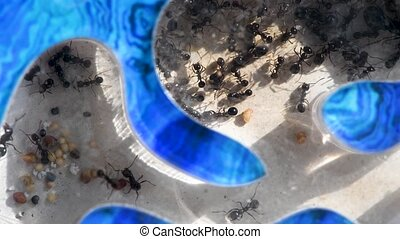 macro video ants in blue ant farm at home