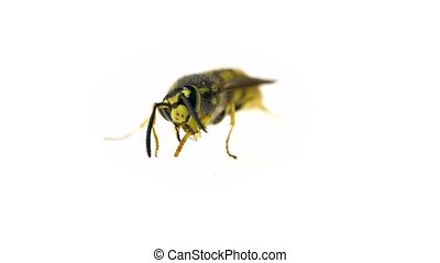 Macro video of beautiful wasp washing herself with her paws....