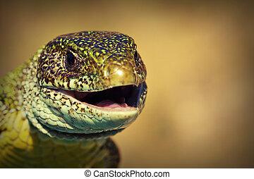 macro view of a green lizard head ( Lacerta viridis )