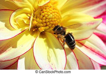 Macro view of a honeybee in a dahlia flower