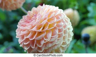 Macro view of an orange flower dahlia