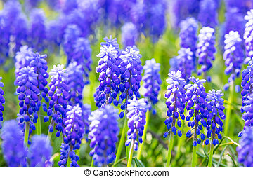 Macro view of blue Muscari flowers