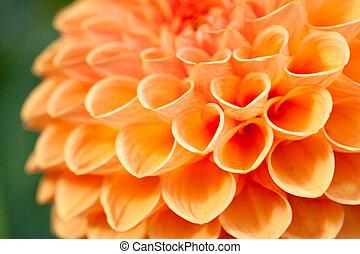 Macro view of orange flower dahlia