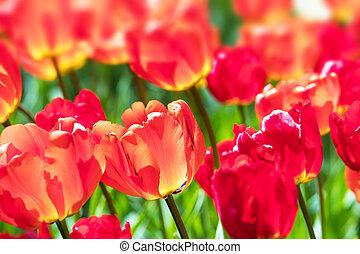 Macro view of red tulip flowers