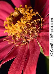 Macro view of zinnia flower.