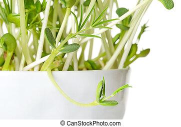 macro, zoet, lupin, boon, foto, seedlings