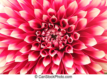 Macro(closeup) of dahlia flower with pink petals arranged in circle. The brilliantly beautiful flower has a stunning pattern of petal arrangement in circular or concentric circular fashion