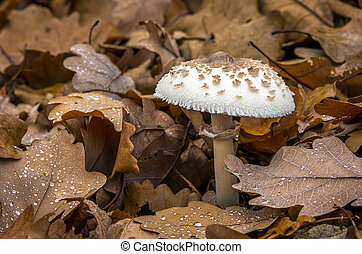 Macrolepiota mastoidea - edible mushroom - Edible mushrooms...
