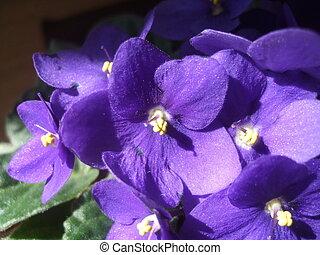 macrophotography, altviool, viooltjes, achtergrond., illustratie, floral, bloemen, flora, viooltje