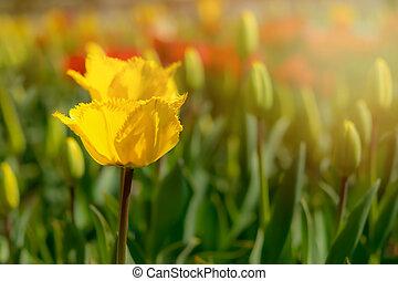 macrophotography, sun., focus., selectief, tulp, bloemen, gele, close-up, lente