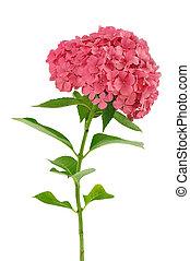 macrophylla, fond, hortensia, isolé, fleur blanche