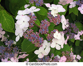 macrophylla, hortensia