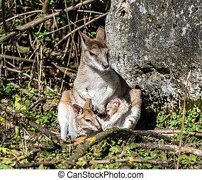 macropus, ágil, também, agilis, sabido, wallaby, wallaby, arenoso