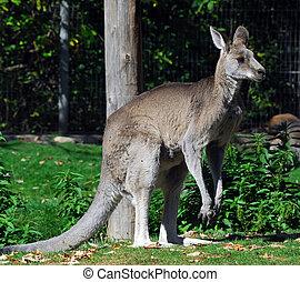 (macropus, giganteus), oriental, kangourou, gris