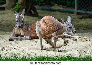 macropus, känguru, tysk, zoo, röd, rufus