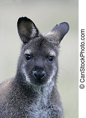 macropus,  rufogriseus,  red-necked,  wallaby