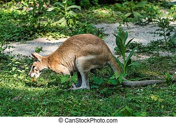 macropus, wallaby, sabido, agilis, ágil, também, wallaby, arenoso