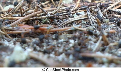 Macroscopic life ants in a pine forest