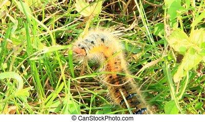 Macrothylacia rubi caterpillar with brown ribbons in green grass