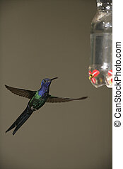 macroura, colibri, avaler-coupé queue, eupetomena