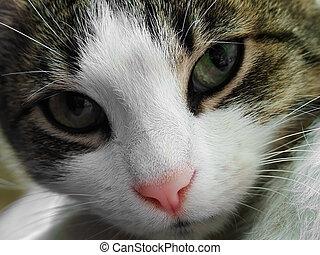 macska, closeup, arc