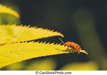 maculato, dodici, asparago, scarabeo