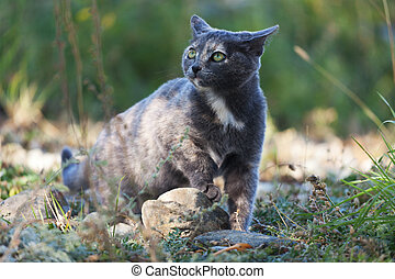 maculato, gatto blu