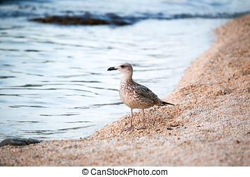madár, álló, part