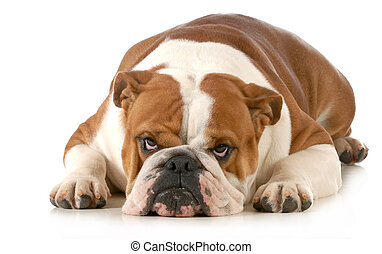 mad dog - english bulldog laying down with sour expression...