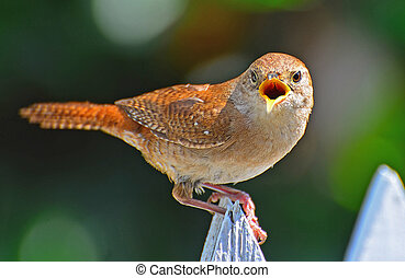 House Wren sitting on a picket fence screeching at intruder to protect its nest.