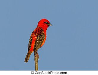 Madagascar bird red fody, wildlife - Beautiful Madagascar ...