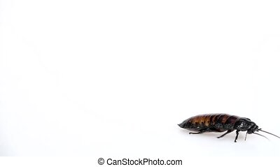 Madagascar cockroach crawls from side to side. White background. Side view. Slow motion